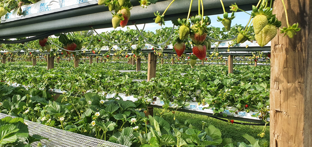 Strawberries growing at Black Stump Berry Farm