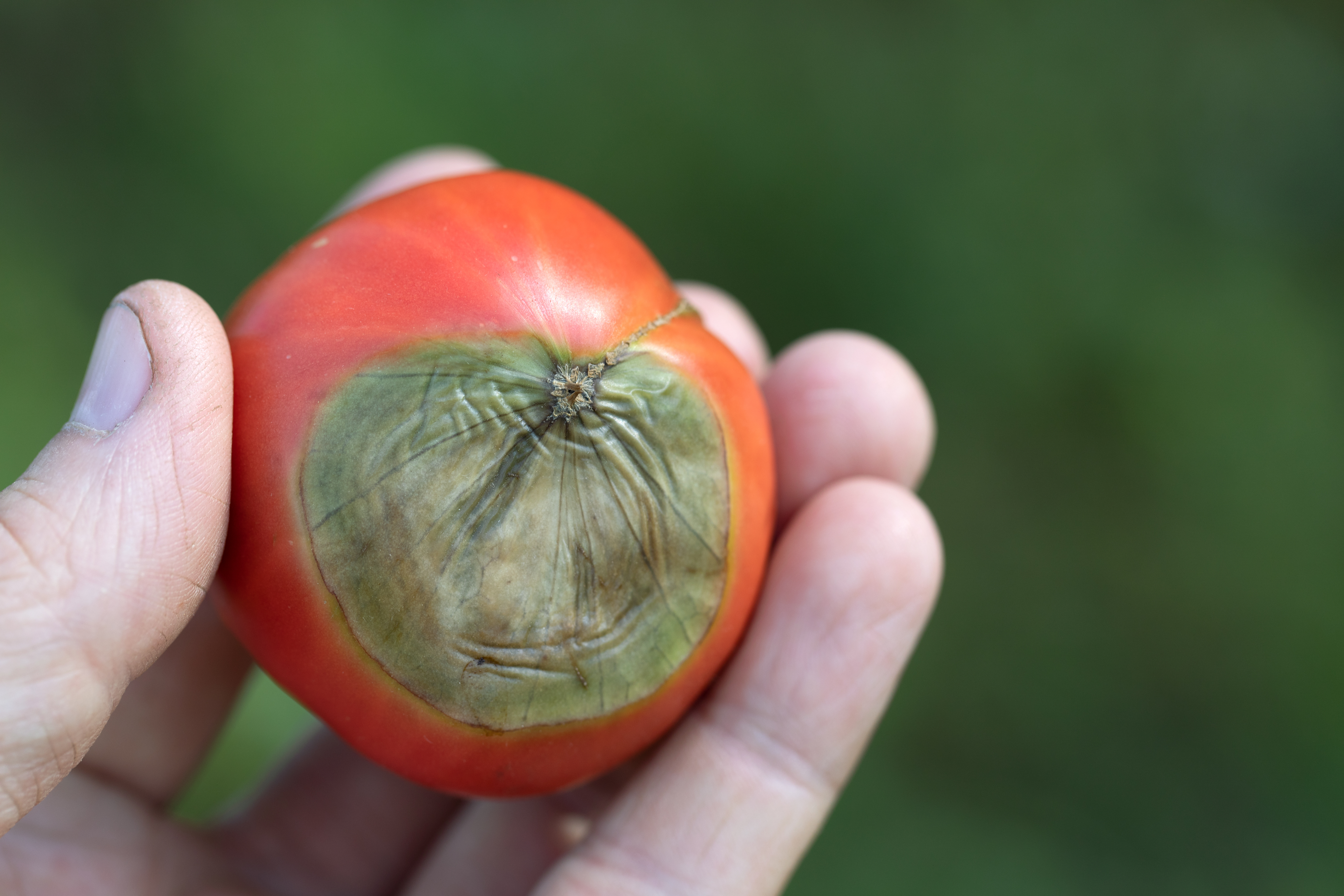 Blossom end rot is a symptom of a calcium deficiency