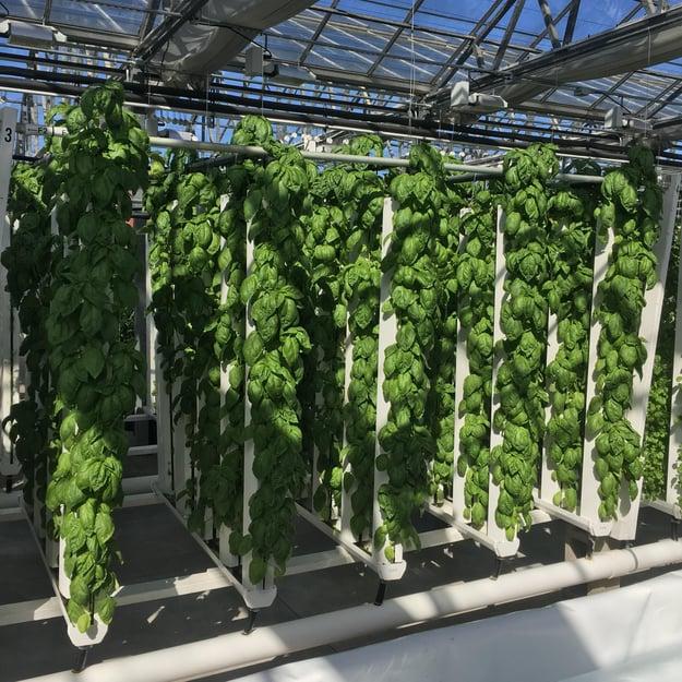 Fresh produce at CRG Grow