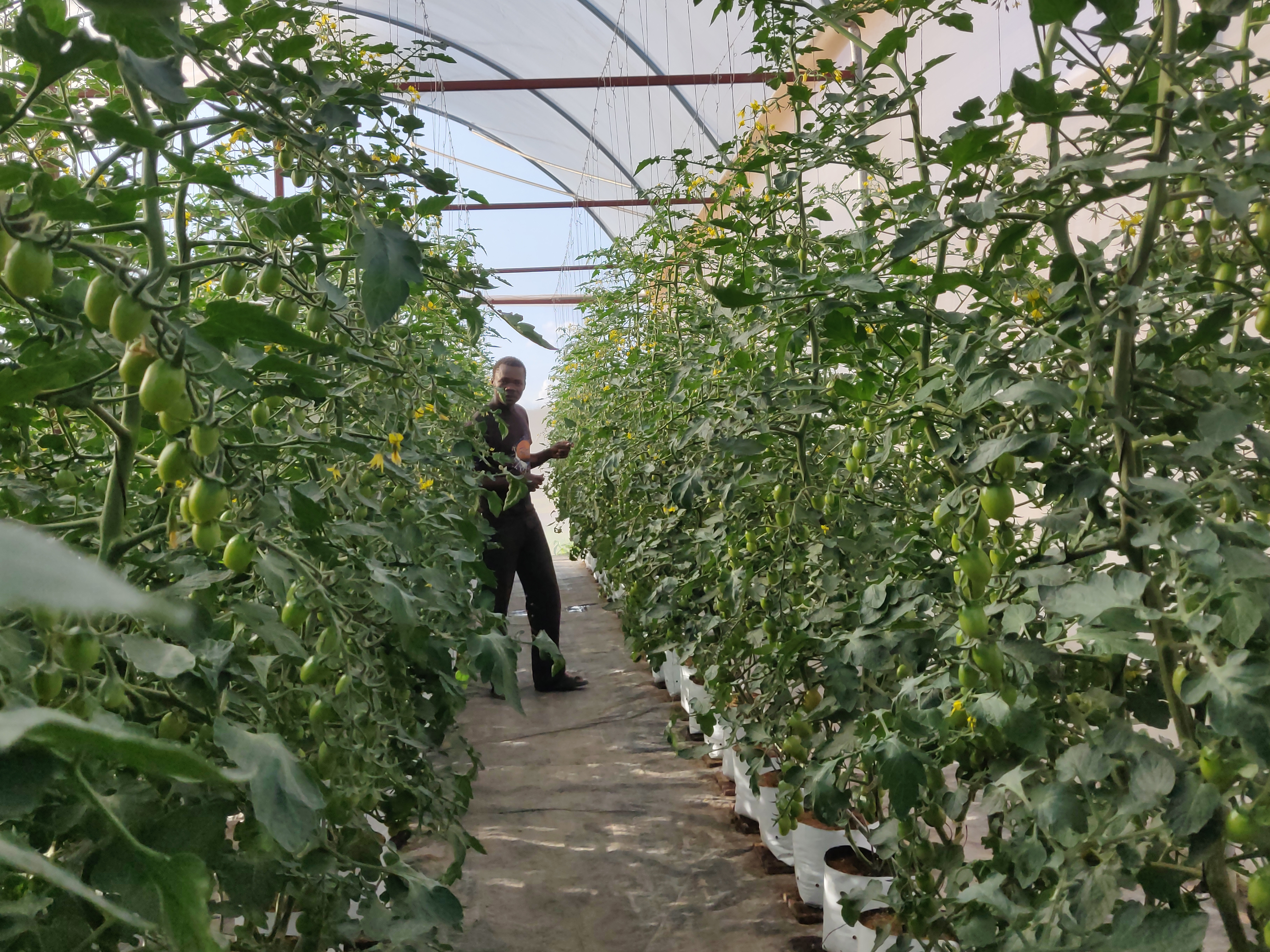 Grower tends to plants in a greenhouse