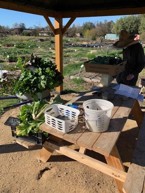 Harvesting leafy greens at Fertile GroundWorks