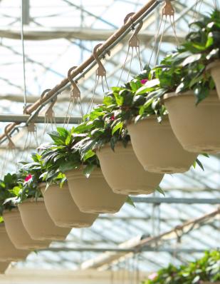Hanging flowerpots at Kawahara Nurseries