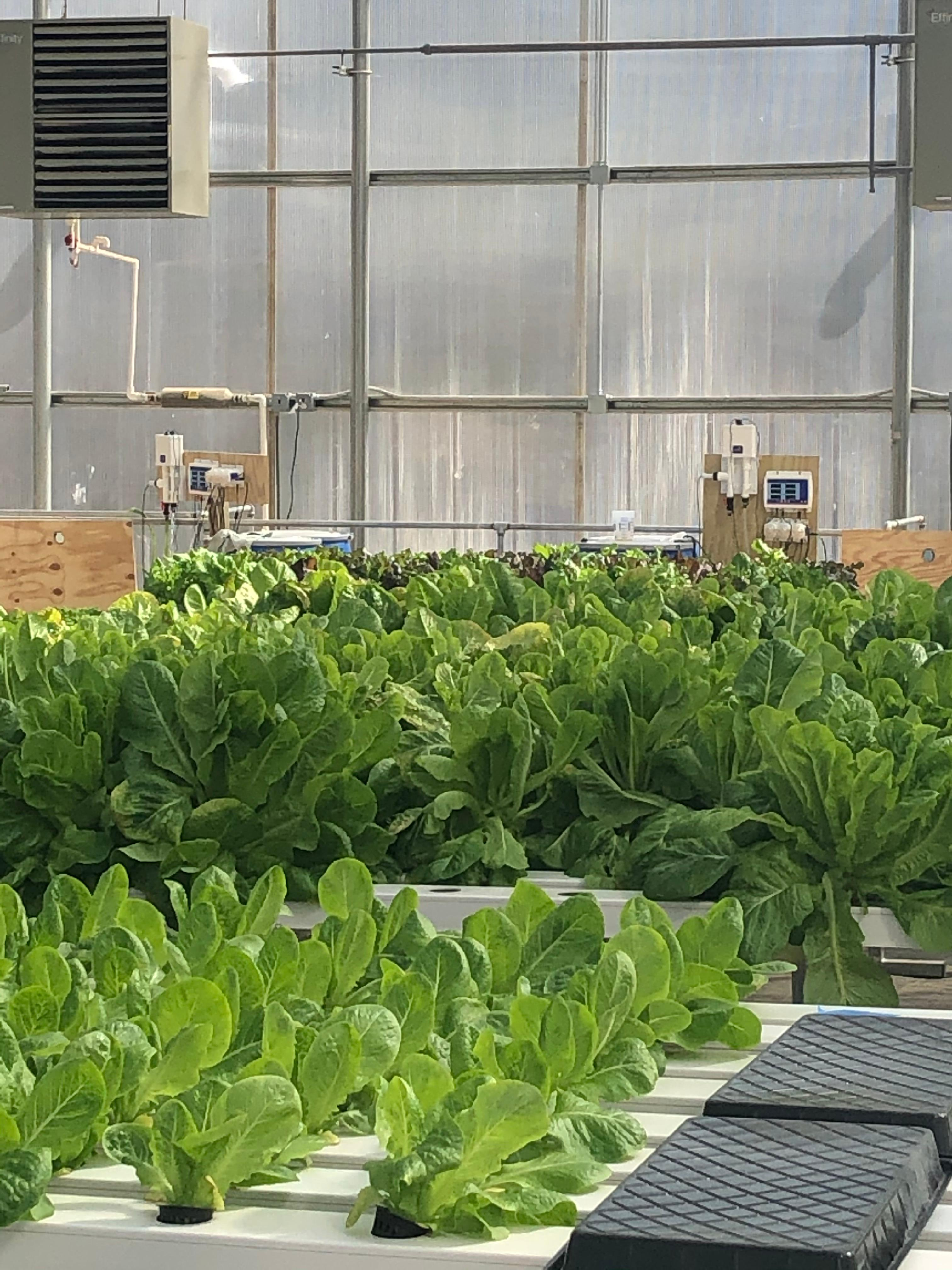Leafy greens at the Mary's Land Farm greenhouse