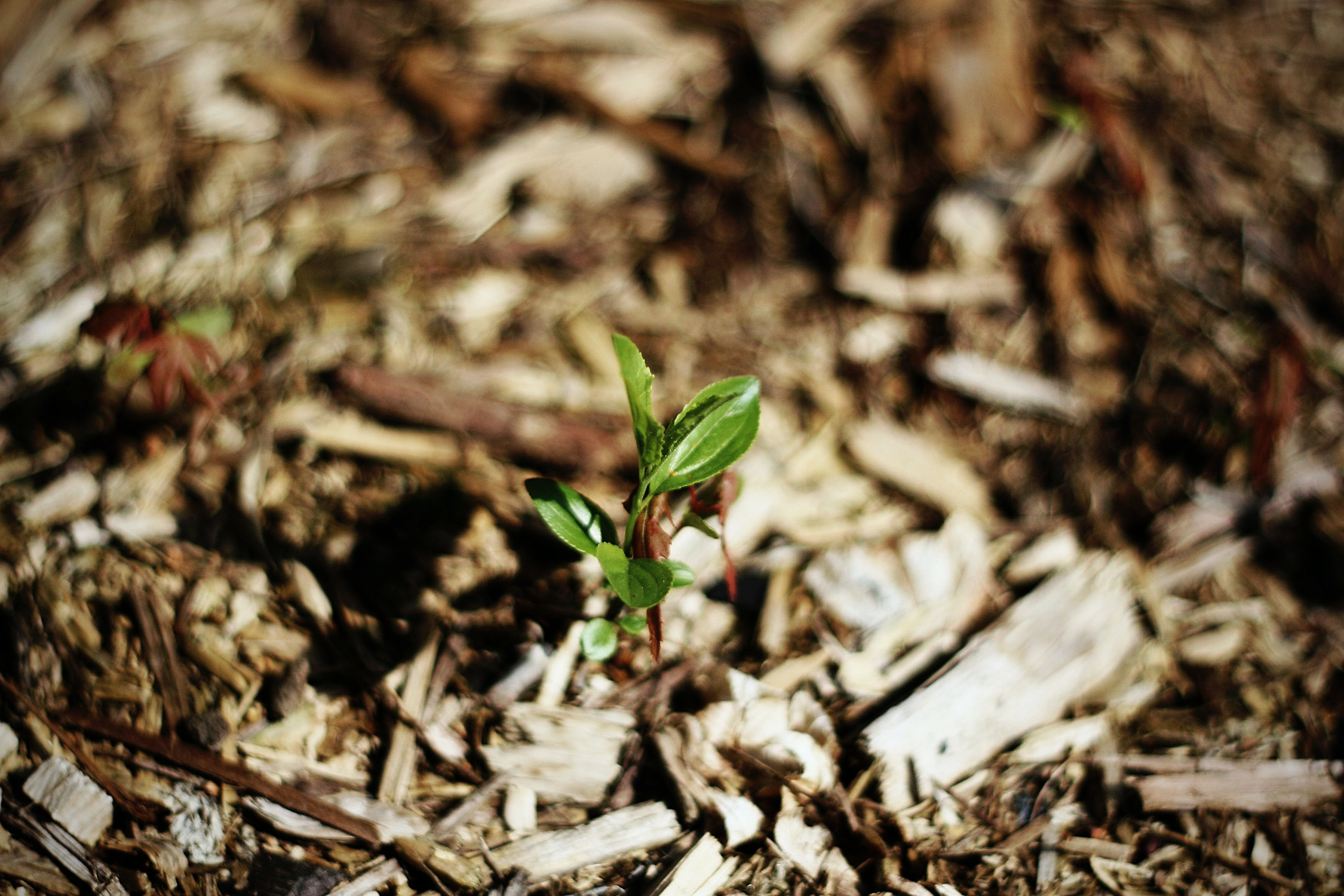 A healthy seedling grows out of a bed of mulch, which helps to increase root zone temperature