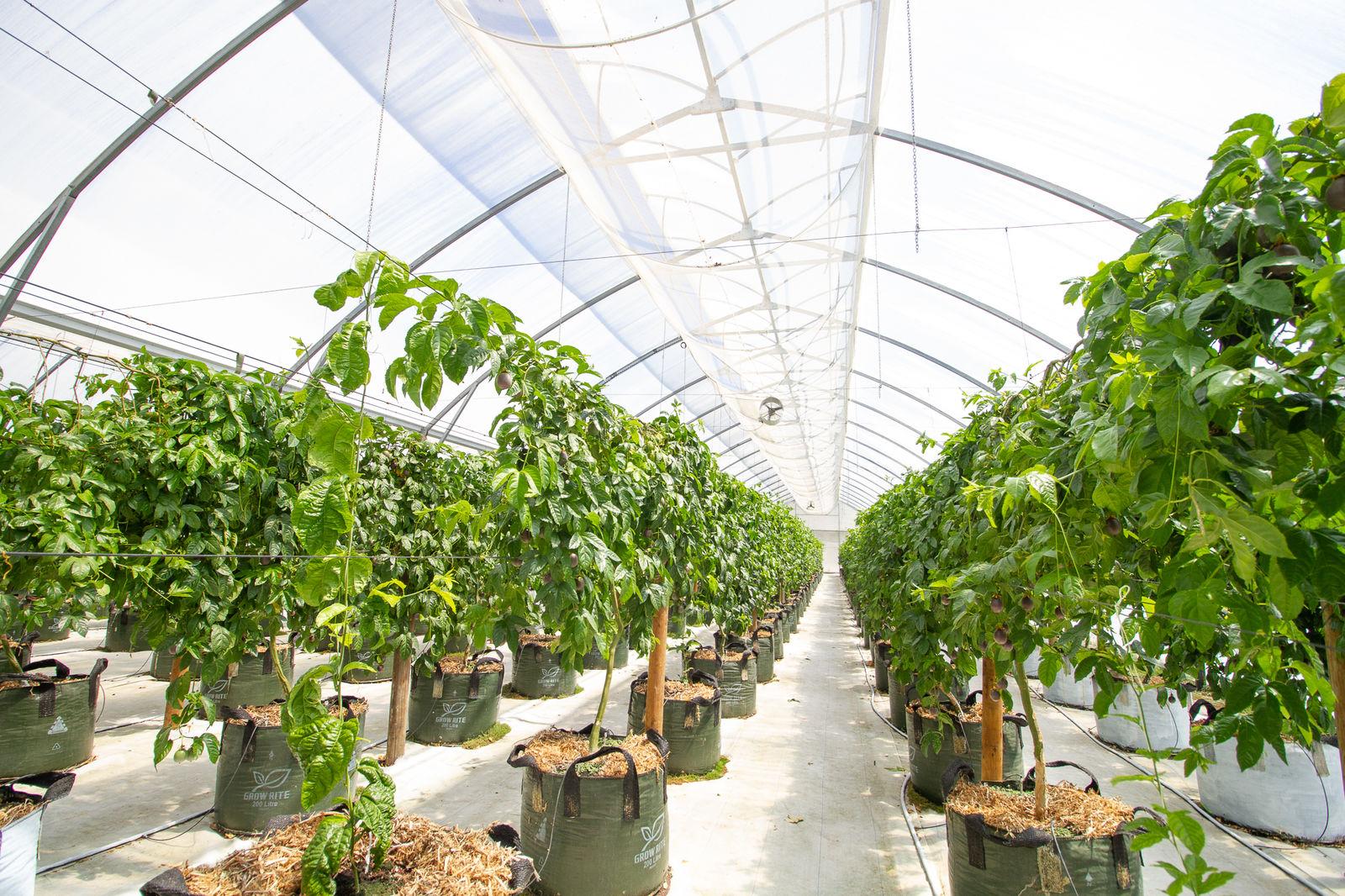 Passionfruit grown at Scott Pilcher's farm
