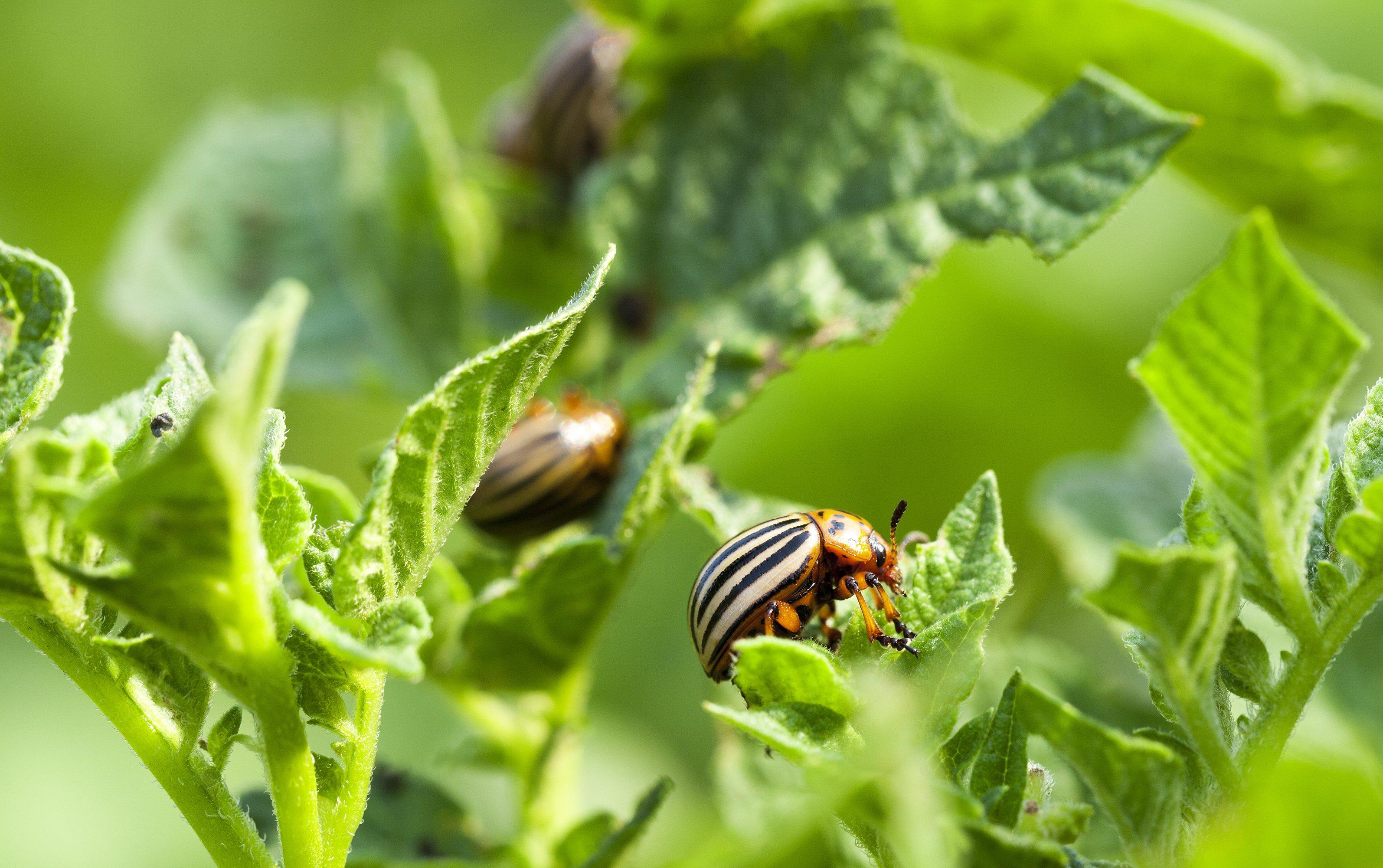 Potato beetles crawling on plants
