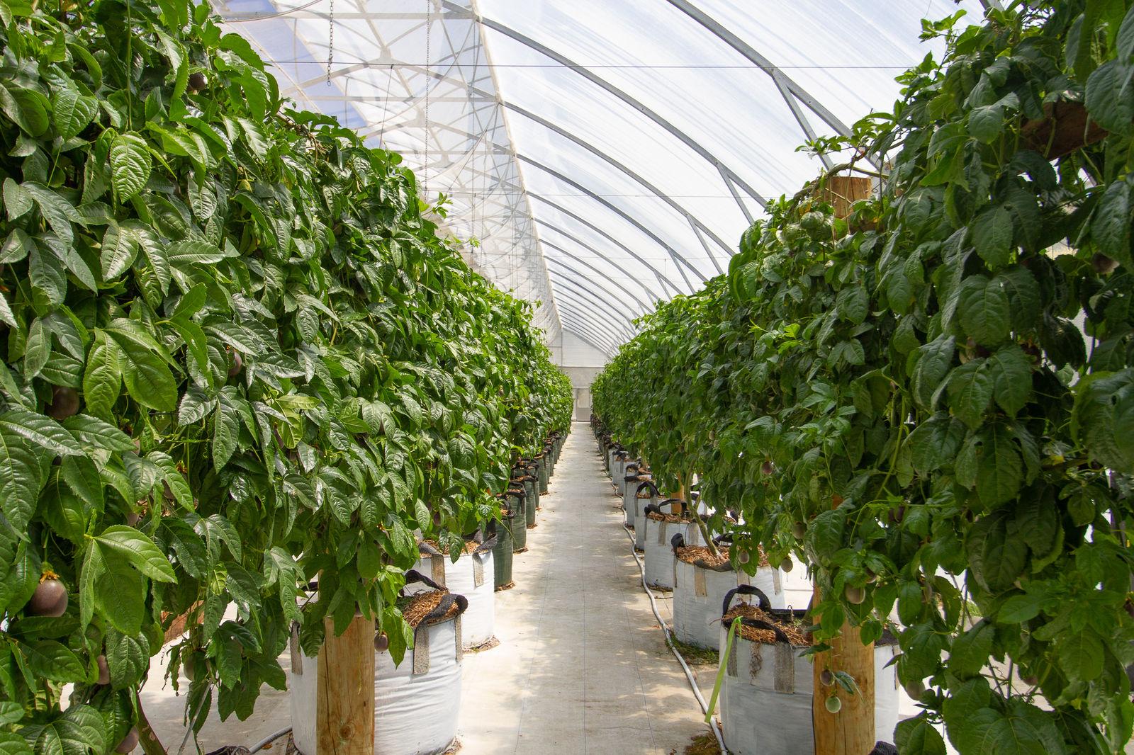 Passionfruit plants growing inside a CEA greenhouse