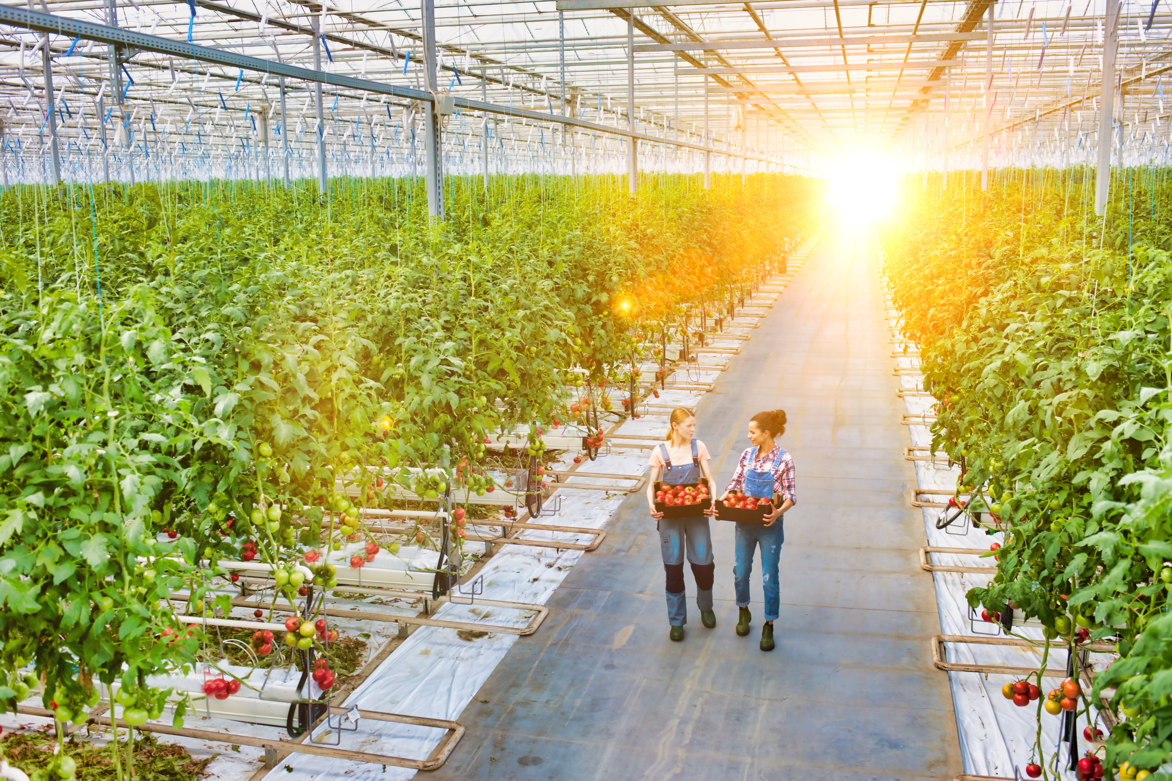 Two growers walk within a greenhouse