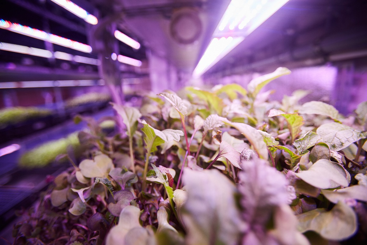 Young seedlings in greenhouse growing under purple LED lights