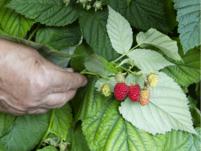 magnesium deficiency in a raspberry plant