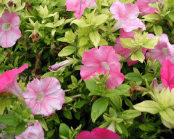 Petunias showing pale leaves and flowers