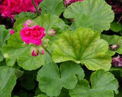 Geranium leaves showing iron deficiency