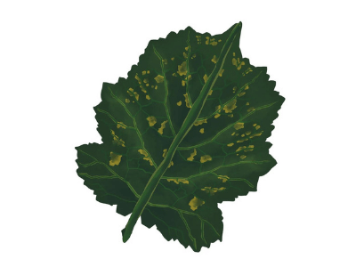 Leaf showing signs of boron nutrient deficiency