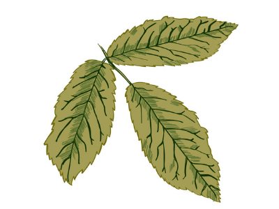 With a magnesium deficiency, leaf veins are green