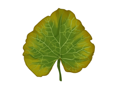 Leaf showing a molybdenum nutrient  deficiency