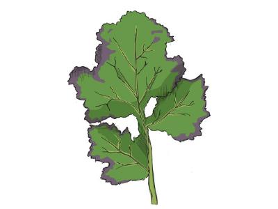 Kale leaf with purple edges - a sign of phosphorous nutrient deficiency