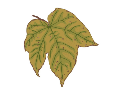 Leaf showing chlorosis - a sign of potassium deficiency