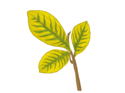 Chlorosis in an iron-deficient leaf shows green veins